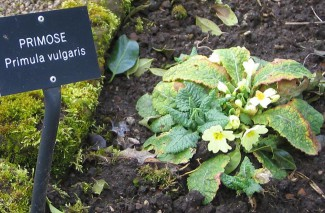 Primrose – added colour to salads