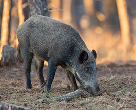 Wild boar - meat fit for a medieval nobleman