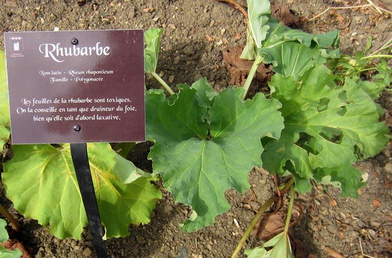 how to grow rhubarb in ontario