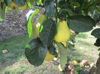 Quince was a popular medieval fruit