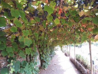 Canopy of grapes growin in medieval garden