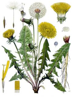 Parts of the dandelion showing leaves which can be used in dandelion salad