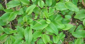 Bistort, a medieval herb