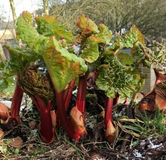 Rhubarb similar to what grew in medieval Europe