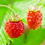 wild strawberries grew in the forests of medieval Europe