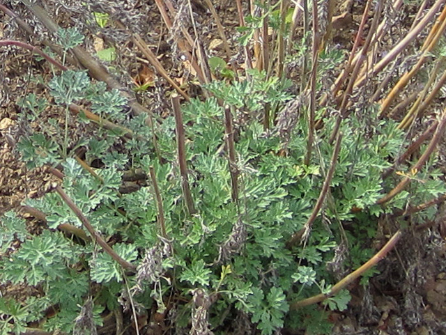 Absinthe wormwood medieval herb