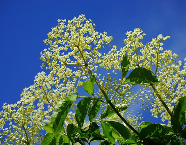 Elderflower (Sambucus) in sunshine