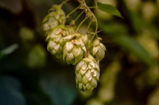 Hops for brewing ale