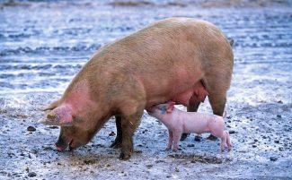Pig foraging