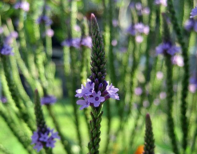 Verbena - herb used for medicinal purposes for centuries