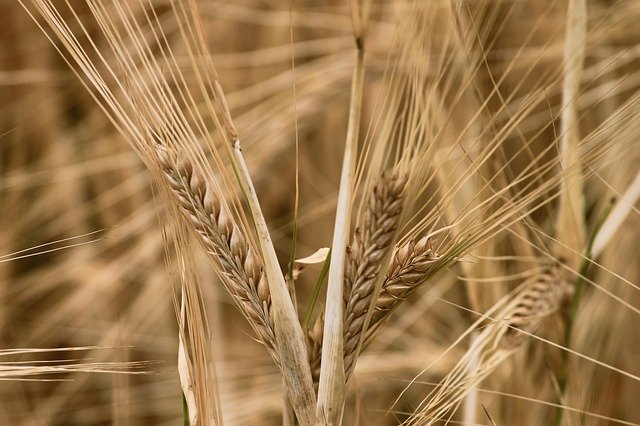 Barley as used by a medieval baker