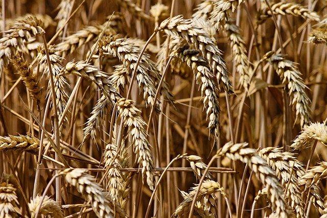 Wheat before harvesting